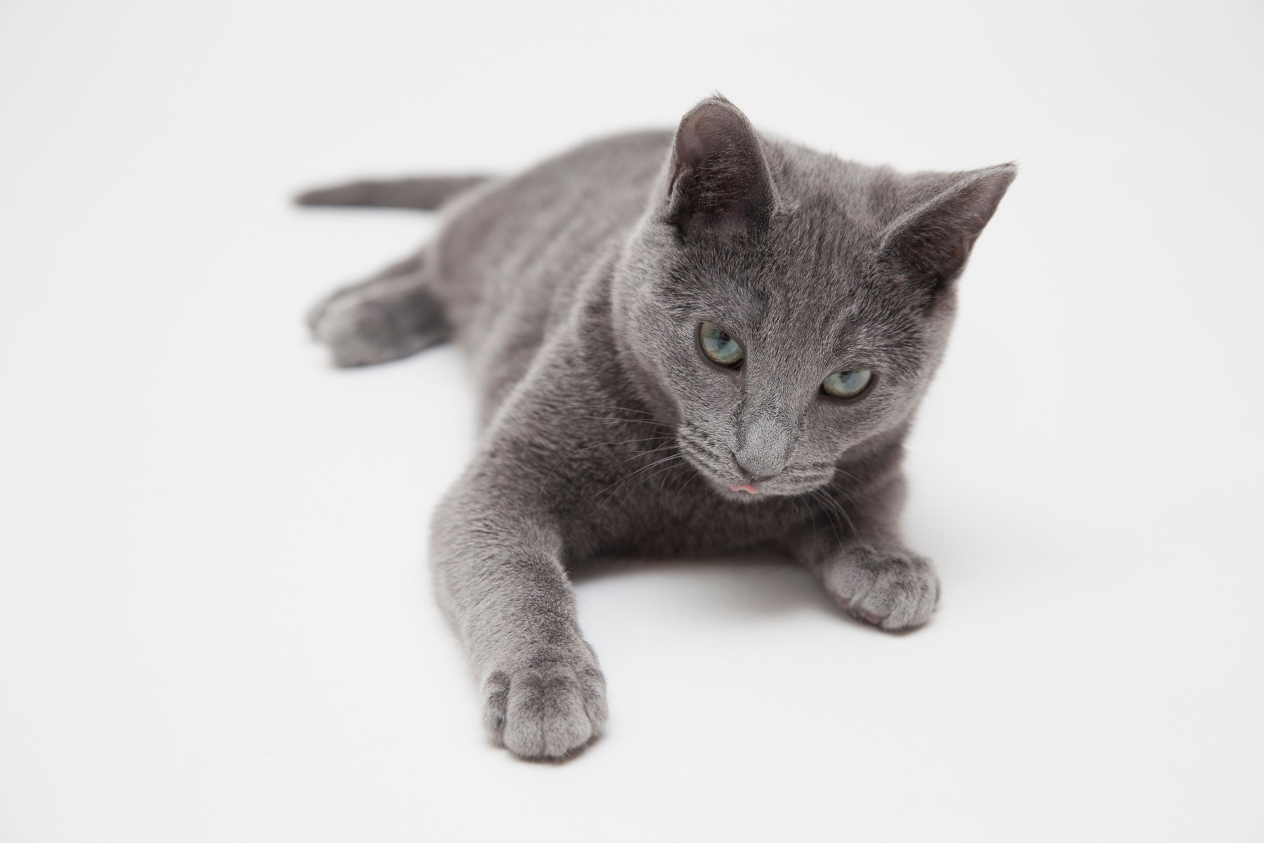 Studio portrait of alert russian blue kitten lying on front
